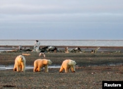 FILE - Three polar bears are seen on the Beaufort Sea coast within the 1002 Area of the National Arctic Wildlife Refuge in this undated handout photo provided by the U.S. Fish and Wildlife Service Alaska Image Library in 2005.