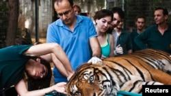 Pakar pengobatan alternatif, Mor Mosinzon (kiri) memeriksa Pedang, harimau Sumatra yang menderita infeksi telinga, di Taman Safari Ramat Gan dekat Tel Aviv, Israel hari Minggu (9/6).