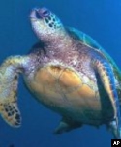 An endangered green sea turtle at home in the sea.