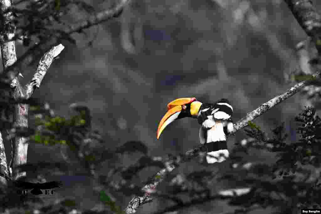 The Great Hornbill, a threatened resident of hill evergreen and semi-evergreen, is a canopy species and a symbol of healthy forest. (Photo by Suy Senglim)
