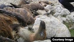 Otrovani grifonasti lešinari u Hrvatskoj
