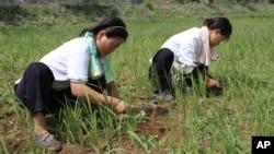 지난해 7월 북한 황해북도 소흥군의 말라붙은 논에서 농부들이 괭이질을 하고 있다. (자료사진)