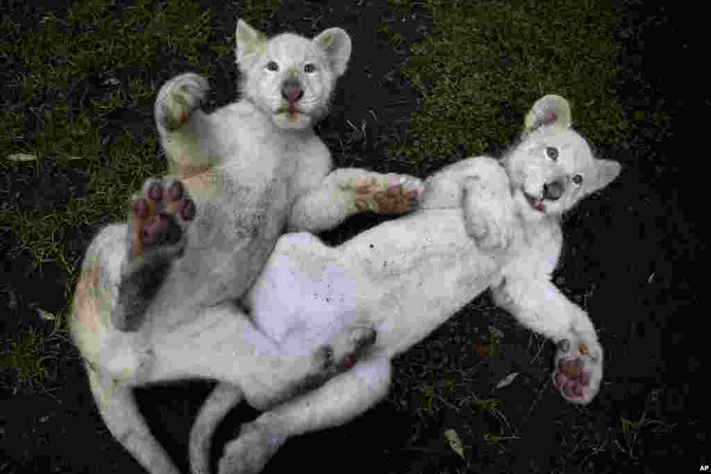 Two four-month-old white lion cubs play together in their enclosure at the Altiplano Zoo in Tlaxcala, Mexico.