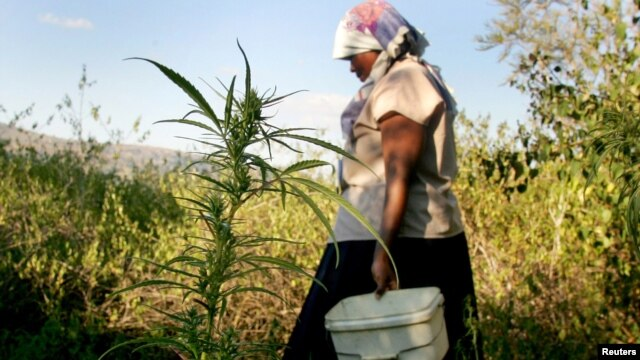 A peasant farmer tends her crop of about 30 young marijuana plants, May 22, 2005.