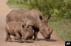 FILE - Rhinos walk in the Hluhluwe-Imfolozi game reserve in South Africa, Dec. 20, 2015.