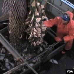 Evropa baca polovinu već ulovljene ribe