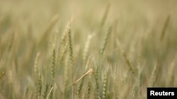 FILE - Stalks of wheat grow at a farm near Gonbad, 550 km (342 miles) northeast of Tehran, May 6, 2008.