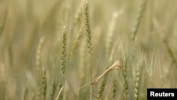 Power outages have affected wheat production in Zimbabwe.