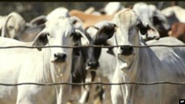 Aktivis mengecam perlakuan kejam atas sapi-sapi di Surabaya. (Foto: Dok)