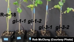"""Scientists hope that understanding how one gene affects a plant's """"biological clock"""" will develop crops with higher yield. (Credit: Rob McClung)"""