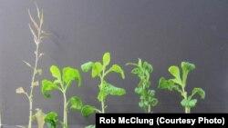 Các khoa học gia hy vọng rằng việc hiểu được một loại gene ảnh hưởng đến nhịp đồng hồ sinh học của cây sẽ giúp các nhà gây giống phát triển các hoa màu tăng cường được sức chịu đựng của cây cũng như cải thiện sản lượng (Ảnh Rob McClung)