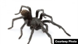 This is an adult male of Aphonopelma johnnycashi from California. (Dr. Chris A. Hamilton)