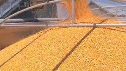 Кукуруза – продукт питания или источник энергии