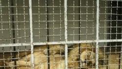 مجلس: سازمان محیط زیست مقصر اصلی مرگ شیرها و ببر باغ ارم