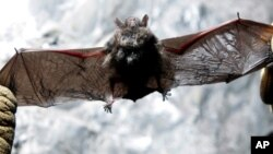 Scott Crocoll holds a dead Indiana bat in an abandoned mine in Rosendale, N.Y., in this January 2009 file photo. (AP Photo/Mike Groll, File)