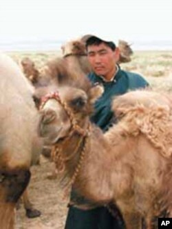 Mongolia: Gobi herdsman, Ikhbayar, with his camels.