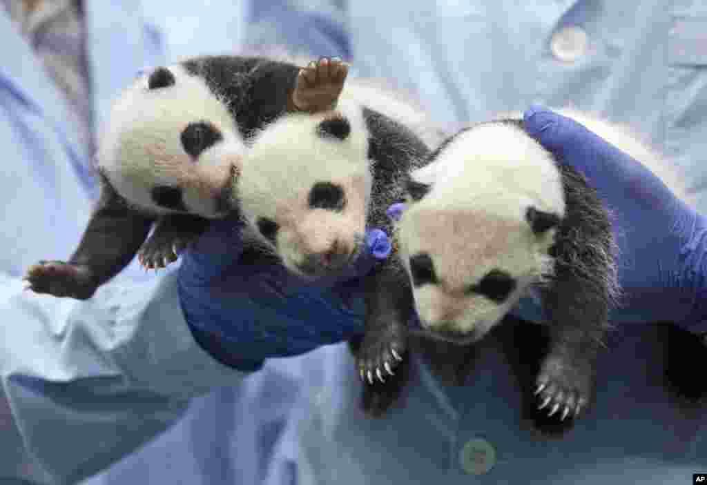 Bayi panda kembar tiga berusia 1 bulan, menjalani pemeriksaan kesehatan di Taman Safari Guangzhou, Guangdong, China selatan.