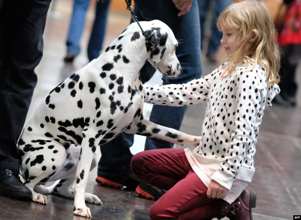 A young visitor greets a dalmatian during the