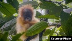 Orangutan Tapanuli (Pongo Tapanuliensis). (Courtesy: YEL-SOCP).