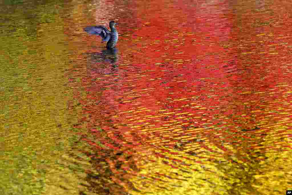 A duck spreads its wings in a pond as fall foliage colors are reflected on the water, in Nagano, central Japan.
