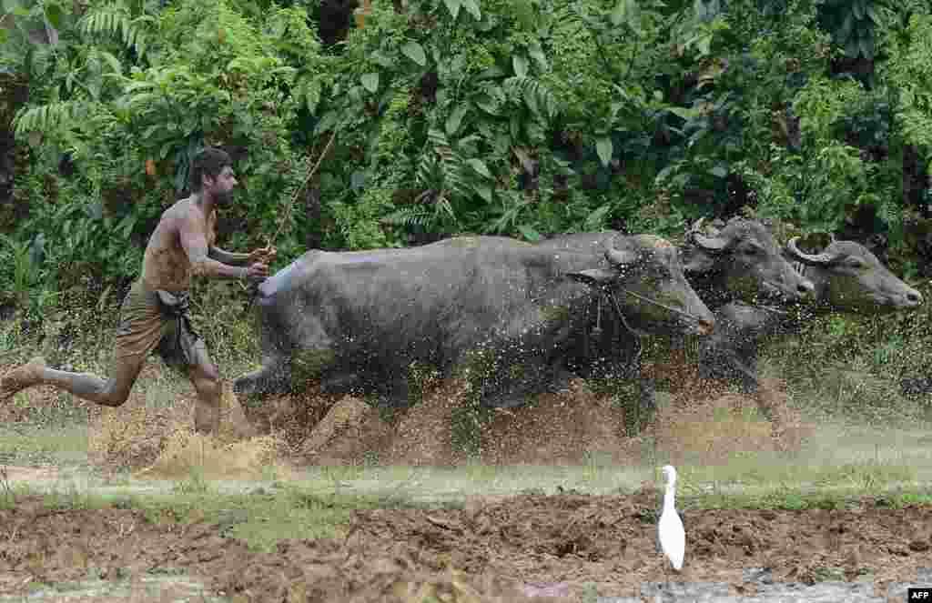 Seorang petani membajak sawah dengan kerbau di desa Horana, pinggiran Kolombo, Sri Lanka.