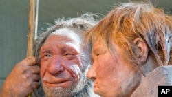 "FILE - The March 20, 2009 file photo shows the prehistoric Neanderthal man ""N"", left, as he is visited for the first time by another reconstruction of a homo neanderthalensis called ""Wilma"", right, at the Neanderthal museum in Mettmann, Germany. The world famous fossil ""N"" is estimated being about 40.000 years old; ""Wilma"" was built by Dutch artists Alfons and Adrie Kennis for the National Geographic magazine on a skeleton from the American museum of natural history in New York."
