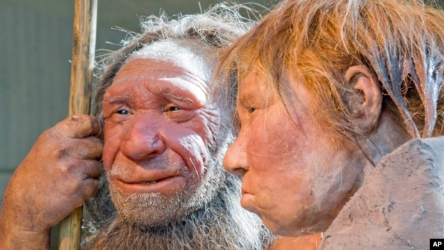 FILE - Reconstruction of a homo neanderthalensis at the Neanderthal museum in Mettmann, Germany.