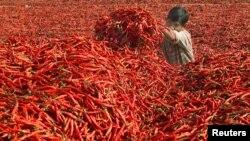 Seperti pernah terjadi sebelumnya, harga cabai di Indonesia kembali melonjak (foto: ilustrasi).
