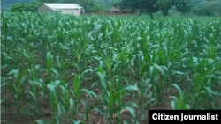 Maize is Zimbabwe's staple food.