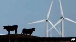 Tư liệu- Đàn gia súc được chăn thả trên đồng cỏ, phía sau là những tuabin gió gần Vesper, Kan.