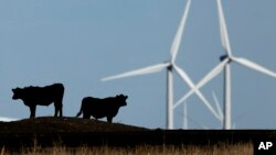FILE - Cattle graze in a pasture against a backdrop of wind turbines near Vesper, Kan., in this 2015 photo.