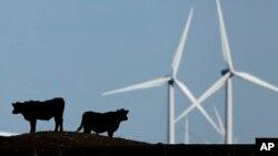 美国堪萨斯州的风力发电机和牛(2015年)