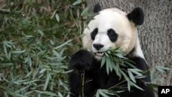 這是星期天夭折的熊貓幼崽的母親--美國國家動物園來自中國的大熊貓美香(資料圖片)
