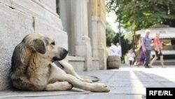 BiH Stray Dog on Sarajevo Street