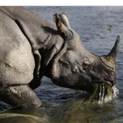 A rhino eats water plants from a river in the Janakauli community forest bordering Chitwan National Park in Nepal
