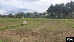 Areal persawahan yang tak dapat diolah karena ketiadaan pasokan air dari irigasi gumbasa di desa Soulowe, Dolo, Sigi, digunakan untuk pengembalaan ternak sapi (VOA/Yoanes litha)