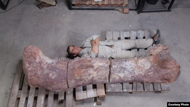 Pablo Puerta of Argentina's  Egidio Feruglio Museum of Palaeontology lies next to the femur bone of the newly discovered titanosaur.