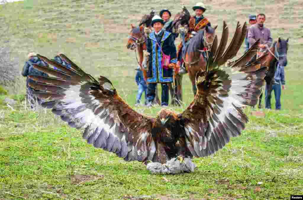 中国新疆维吾尔自治区伊宁市的哈萨克牧人看着猎鹰猎取兔子。