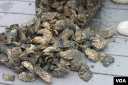 养殖成熟了的牡蛎 (VOA卫视袁美拍摄)