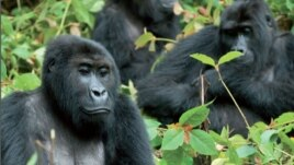 International trafficking of great apes is on the rise. Credit: GRASP