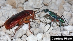 The female emerald cockroach wasp leads her prey by the antenna after stinging it to render it docile. The egg she lays on the roach will hatch, burrow inside, and feed on the roach as the wasp larva develops. (Courtesy Gudrun Herzner)