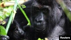 Un gorille de Grauer berce un jeune dans le parc national de Kahuzi-Biega au Sud-Kivu, dans l'est de la République démocratique du Congo, le 5 novembre 2012.
