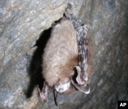 "A deadly disease in bats called ""white-nose syndrome"" was confirmed on this tri-colored bat from a cave in Lincoln County, Missouri in March 2012. The name describes the white fungus shown on the face and wings of the infected bat."