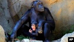 Presentan demanda en Nueva York que busca considerar ilegal mantener encerrados a los chimpancés.
