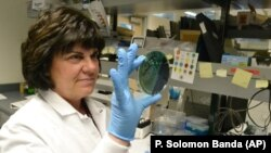 Scientist Karen Xavier holds a petri dish containing a stool sample of small bacteria colonies. DNA samples like these are extracted and sequenced to help health investigators more quickly identify the source of food poisoning.