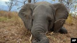 En esta foto de 2014 un elefante muerto por cazadores furtivos en Mozambique. Foto proporcionada por la Sociead de Conservación de la Vida Silvestre.