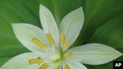 The Paris Japonica, a Japanese flower.