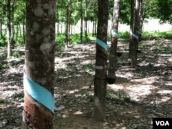 The rubber plantation in Kak village, Rattanakiri province, run by Vietnamese agribusiness giant Hoang Anh Gia Lai. (Sun Narin/VOA Khmer)