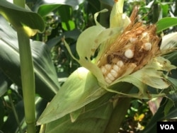 The fall armyworm can finish a whole cob of maize in a matter of days thus exposing Zimbabwean farmers to another year of food shortages as corn is their staple crop, in Zhombe, Zimbabwe, Feb, 2017. (S. Mhofu/VOA)