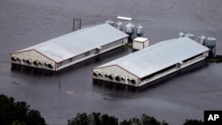 FILE - A hog farm is inundated with floodwaters from Hurricane Florence near Trenton, North Carolina, Sept. 16, 2018.